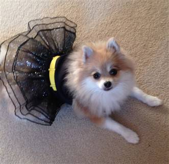 pomeranian-bat-girl-costume