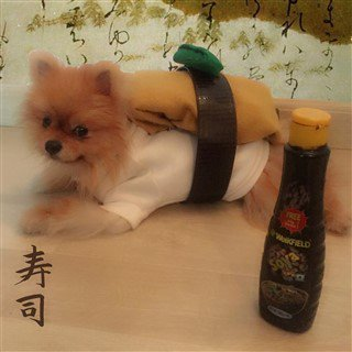 Pomeranian in sushi costume
