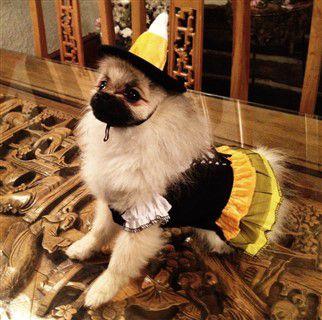 pomeranian-princess-outfit.