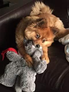 19 pound Pomeranian
