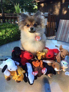 Beanie baby costume on Pomeranian for Halloween