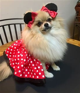 Pomeranian Minnie Mouse costume