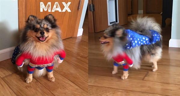Pomeranian super hero costume