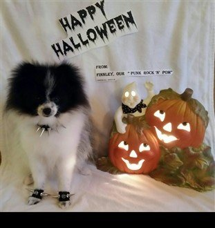 punk-rock-pomeranian-dog-costume