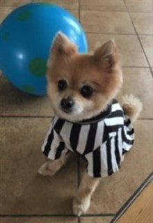 Pom referee dog costume