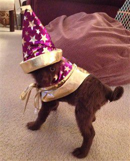 wizard-costume-on-pomeranian