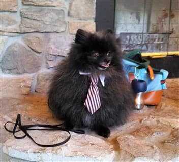 Pom businessman costume