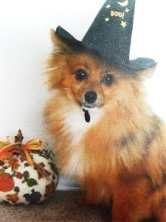 pomeranian witch costume