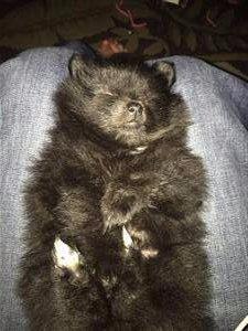 6 week old pom puppy