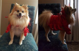 Pomeranian lobster costume