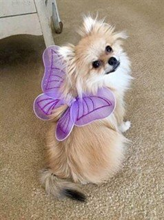 3-pomeranian-in-fairy-costume