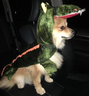 Pom alligator costume