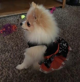 Pomeranian dress for Halloween