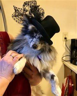 Pomeranian fancy hat
