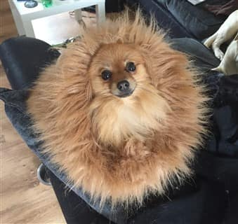 Pomeranian hedgehog costume