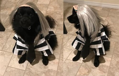 Pomeranian Beetlejuice costume
