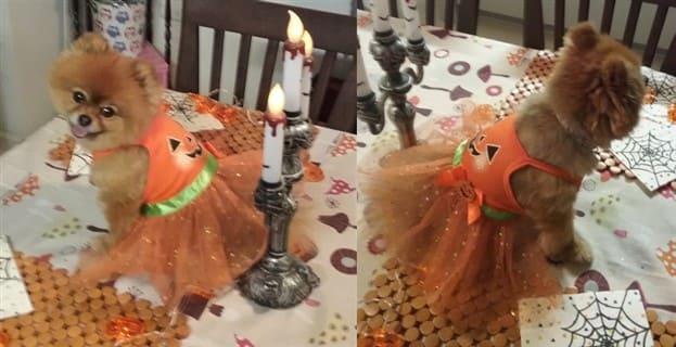 Pumpkin Princess Halloween costume for dog
