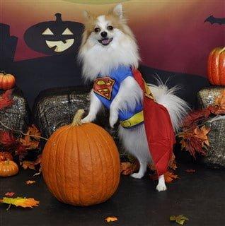 Pomeranian superman costume for Halloween
