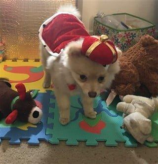 Pomeranian in King costume