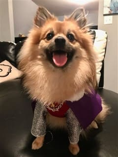 Pomeranian Queen costume