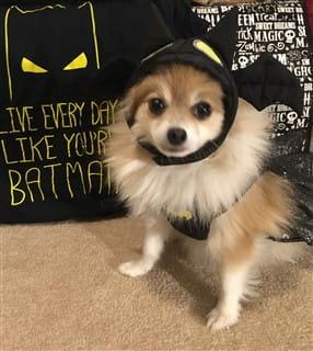Pom in batman or batgirl costume