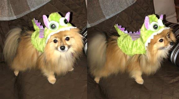 Pomeranian dragon costume