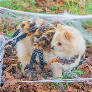 cute spider costume for dog