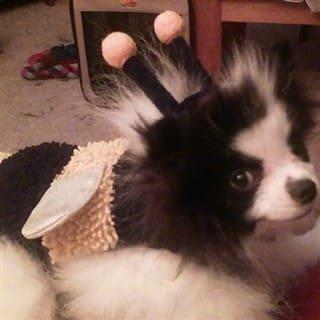 bee costume for dog, Pomeranian
