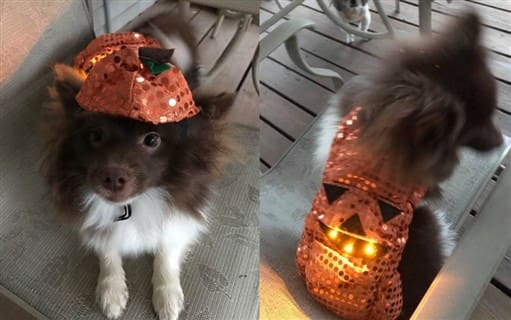 light up pumpkin costume for dog