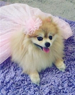 Pomeranian flower girl costume