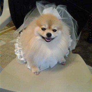 5-Pomeranian-bride-costume