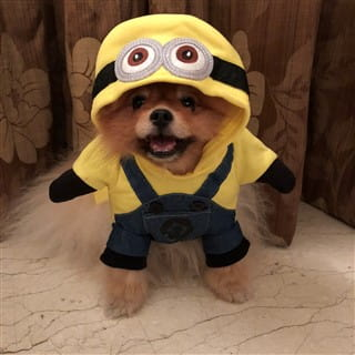 minion costume on Pomeranian dog