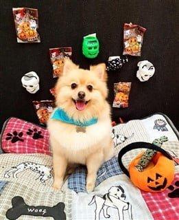 dog vampire costume