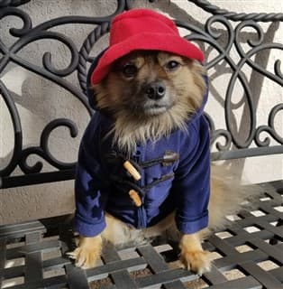 dog as Paddington Bear