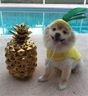 dog pineapple costume