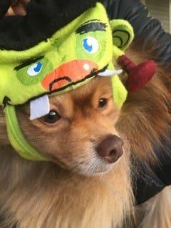 Pom with Frankenstein hat