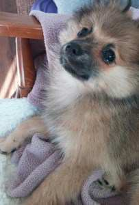 6 month old Pomeranian