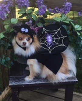 Pomeranian spider girl costume