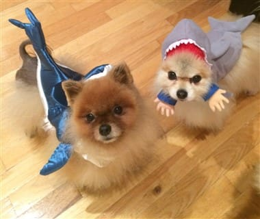 Pomeranian shark costumes