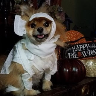 Pomeranian mummy costume