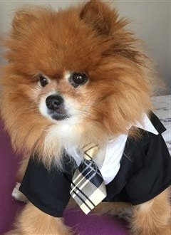 Pomeranian in suit costume