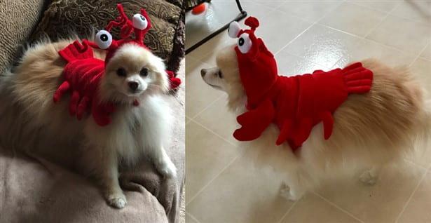 lobster costume on dog
