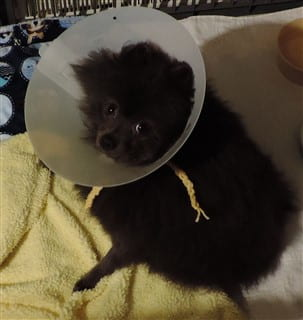 Pomeranian in protection collar