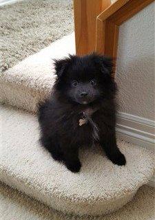 black Pom 9 months old