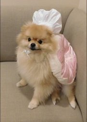 Pomeranian in donut chef costume