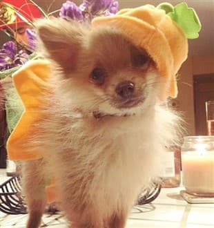 Pomeranian in pumpkin costume