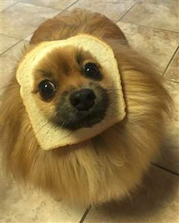 8-pomeranian-bread-costume