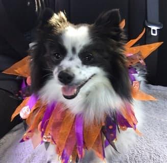 Pomeranian jester costume