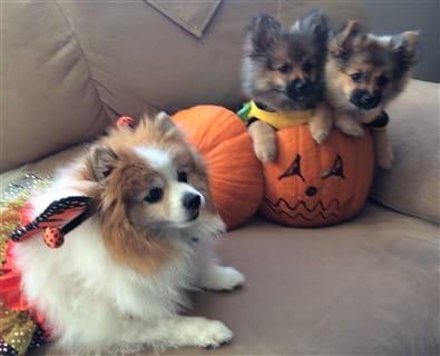 three Pomeranians on Halloween
