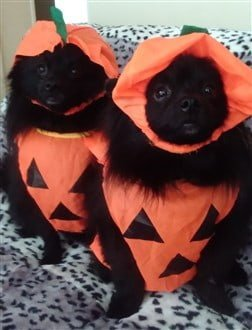 two Poms dressed as pumpkins